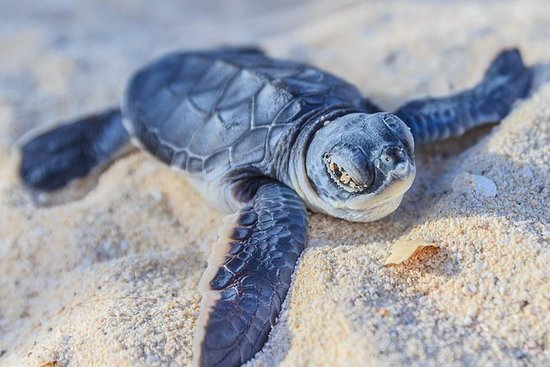 Kosgoda Sea Turtle Conservation...