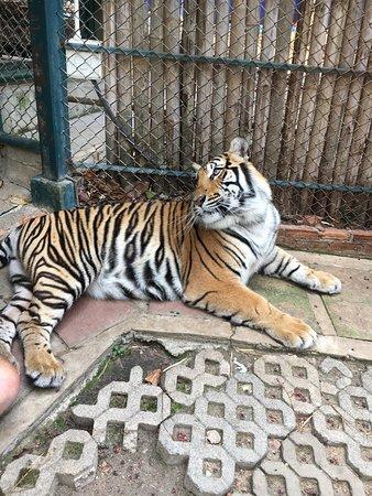 "Tiger Kingdom - Chiang Mai: Beautiful ""medium sized"" tiger"