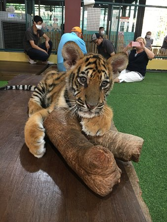 Tiger Kingdom - Chiang Mai: 3 month old tiger