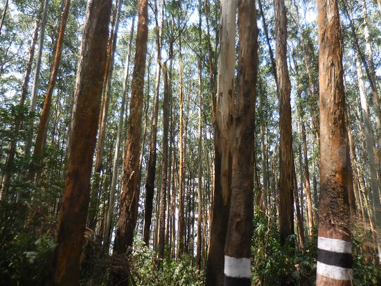 eucalyptus forests