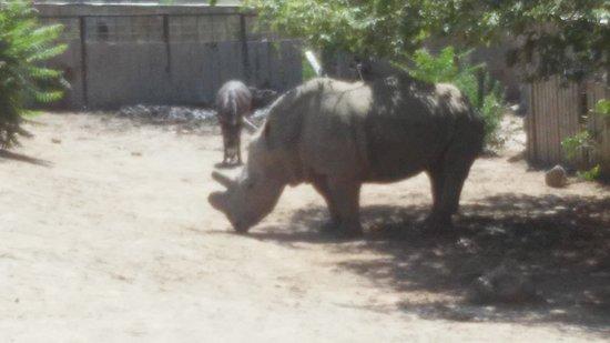Tiflis, Gürcistan: Носорог вместе с осликами, забавно