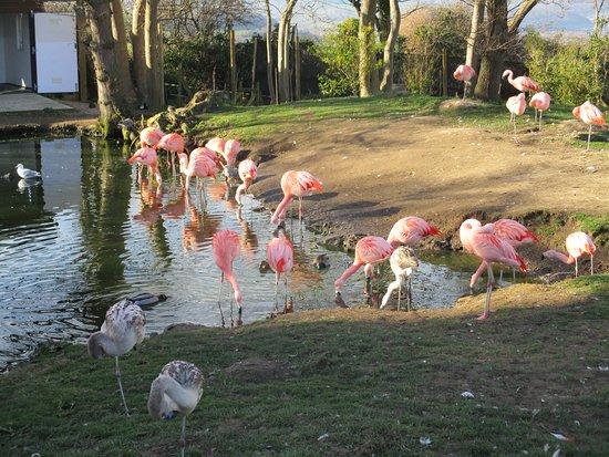 Welsh Mountain Zoo: Flamingoes