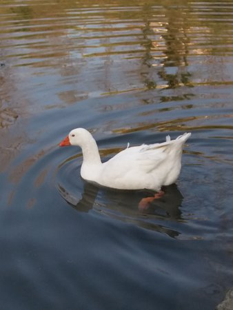 Un'oca nel lago