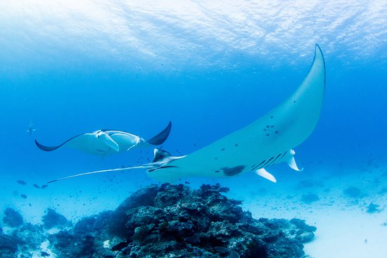 Manta rays at cleaning station