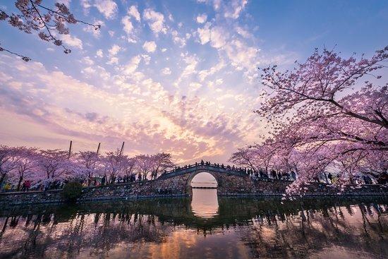 无锡鼋头渚的樱花已经盛放 樱吹雪的景色美到窒息 68个品种,30000多株樱花 椿寒樱和河津樱正开得热闹 听说晚樱的花期一直会到4月下旬