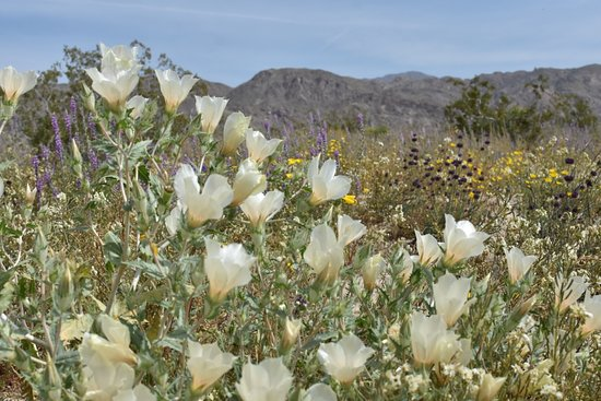 Desert bloom March 2019 at cottontail info entrance.