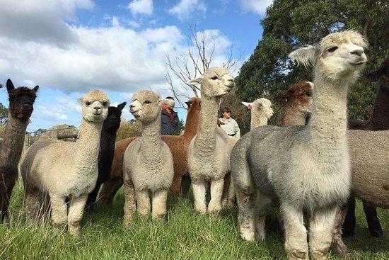 Alpaca Farm 1 timers tur