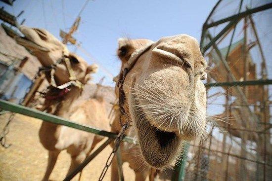 2-Hour Camel Safari Sunset with...