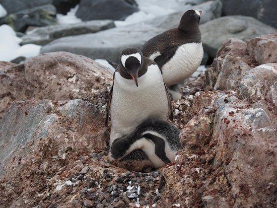 Ανταρκτική: Antartide Pinguino Adelia