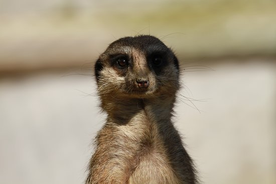 Knockhatch Adventure Park: Meerkat