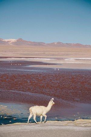 Un petit lama devant la laguna Colorada dans la région du Sur Lipez en Bolivie.