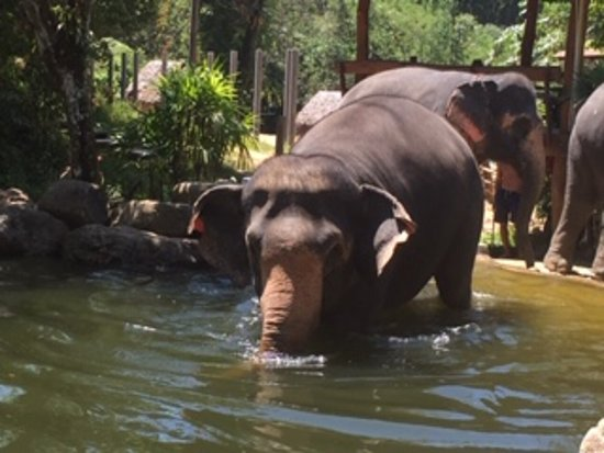 Phang Nga Elephant Park: The elephants ready for a swim...