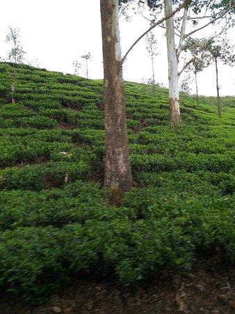 Nuwara Eliya, Sri Lanka: Чайные плантации