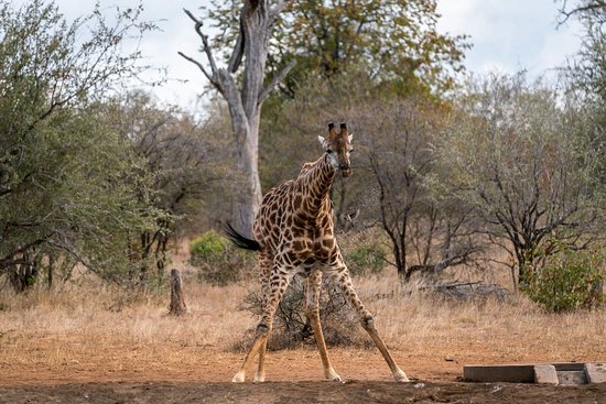 Giraffe drinking at Waterhole.