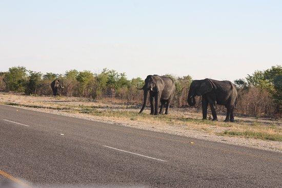 Elephants on the main road between Nata and Pandamatenga