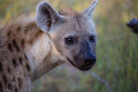 Senalala Safari Lodge: Young Hyena.