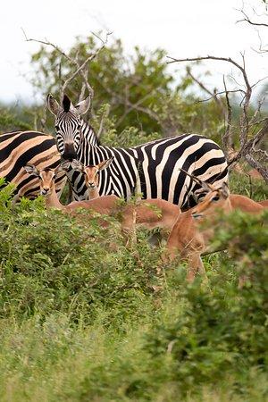 Senalala Safari Lodge: Zebra and Impala.