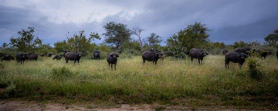 Senalala Safari Lodge: Buffalo herd.