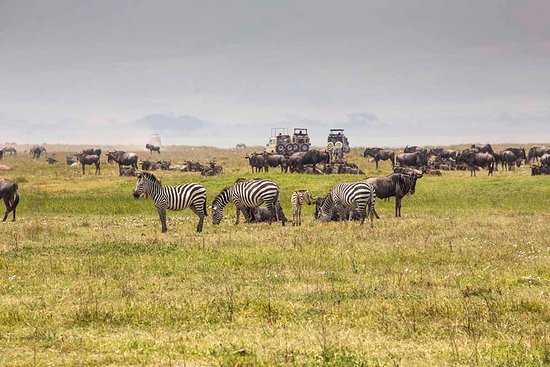 Serengeti National Park, Tanzanya: The Wildebeest and Zebra moreover form the star cast of a unique spectacular - the annual Serengeti migration.