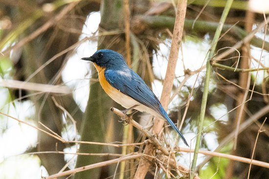 Blue throated flycatcher at resort