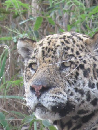 Jaguar:  It is nailed to the branch, at the Brazilian Pantanal!!!