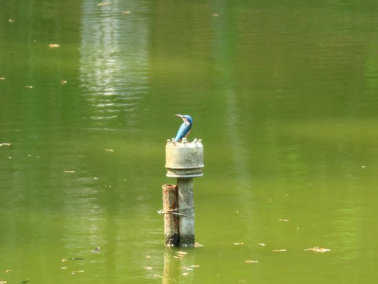 Marari Beach Resort: Kingsfishers every day.  This is the little one.  The stork beaked kingfisher is huge!