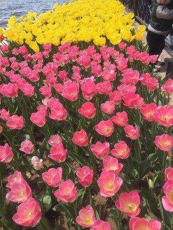 Spring tulips, El-Goli park