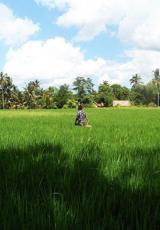 Bali Farm Tour, The Green Fields of Bali's Rice Paady