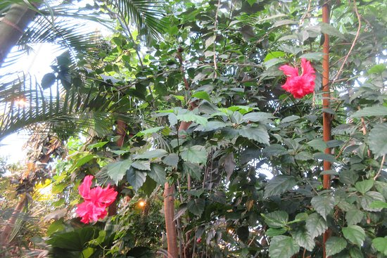 Botanical Garden and the Greenhouses: Fliget hibiscus
