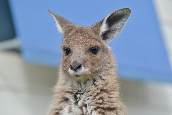 This is a little roo being cared for at Little Urchins, Reedy Creek, Melbourne
