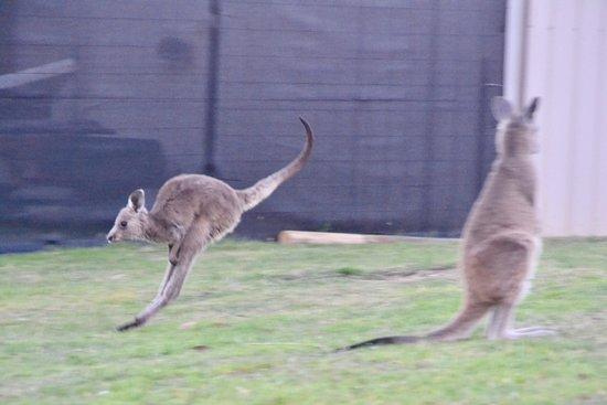 Reedy Creek, Australie : Little Dudley having a hopping five minutes.