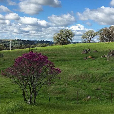 Red bud bloom in the Sierra foothills in Chinese Camp.