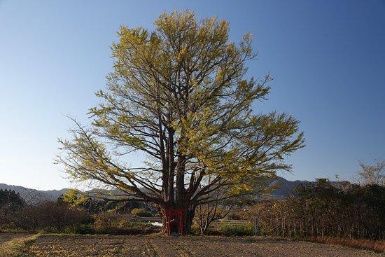 Shirahata no Icho