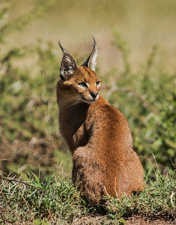 This is the very rare Caracal seen in the Ngorogoro Crater