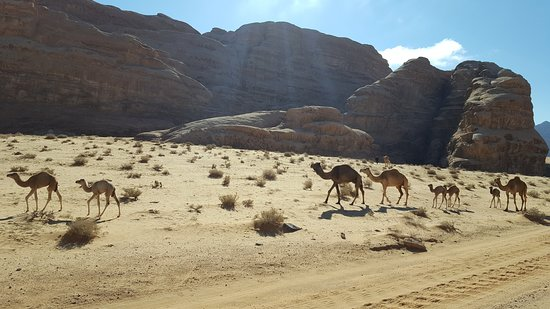 One of many groups of camels