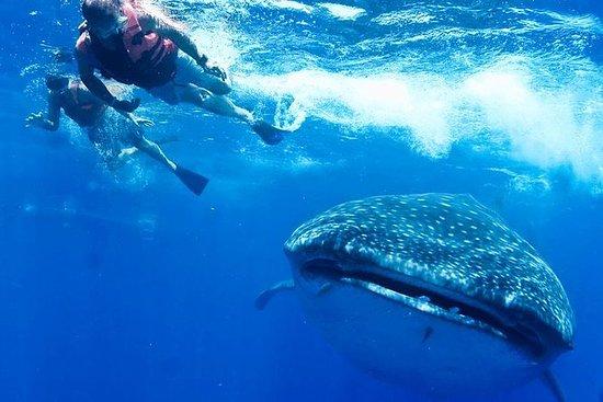 Tiburón ballena privado Ecofriendly...