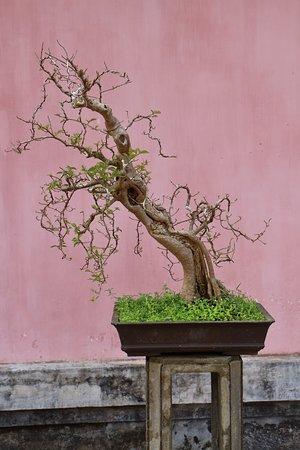 Guiding the growth of bonsai.