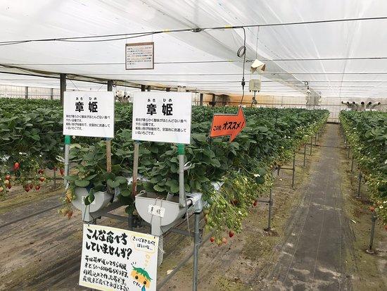 Fruit Gardem Shirone Grapes Garden