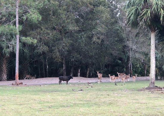Inglis, Floride: Herd of Axis