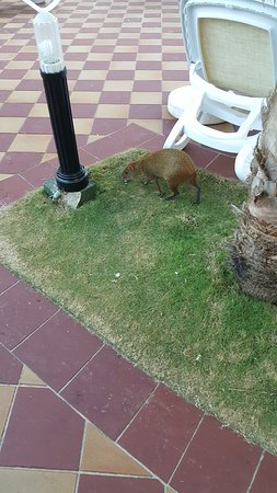 Hotel Riu Palace Riviera Maya: These Mexican Agoutis are running around the resort. Funny to watch.