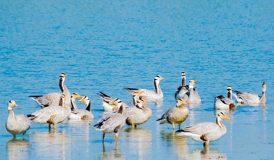 Bar headed goose at Kaziranga National Park. Call JungleFlit for authentic travel experiences in North East India.
