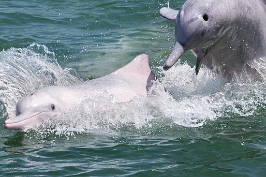 粉红海豚和香港 - 珠海 - 澳门大桥观光游船 - 豪华游艇