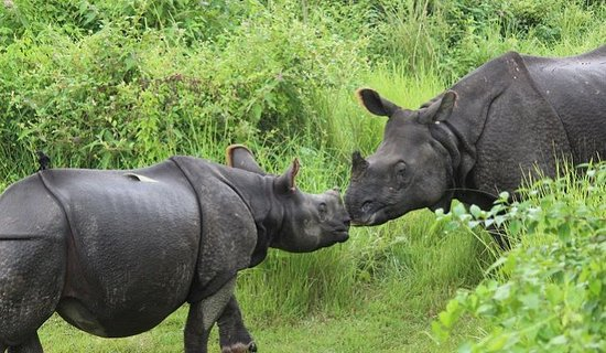 As you take a tour to Chitwan, you will get to witness the wilderness of this jungle including mammals, reptiles and and specially one horned rhinos. #ChitwanJungleSafari https://www.travels2nepal.com/chitwan-jungle-safari