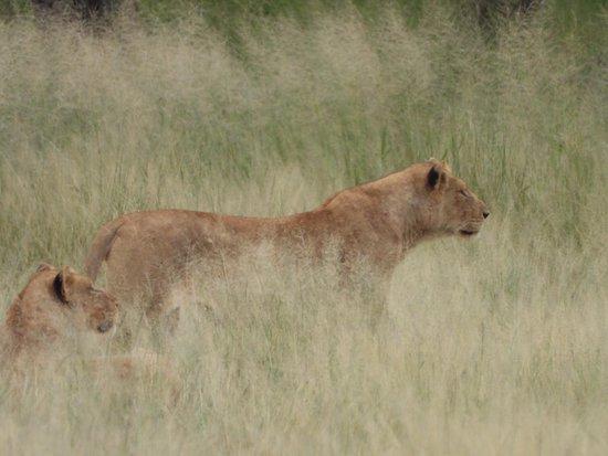 Safaria: Lion