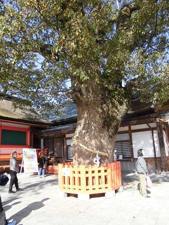 樹齢800年 大楠の神木
