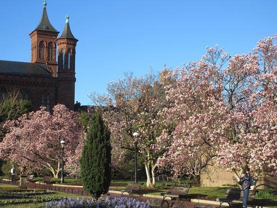 Magnolia Trees In The Enid A Haupt Garden Washington Dc