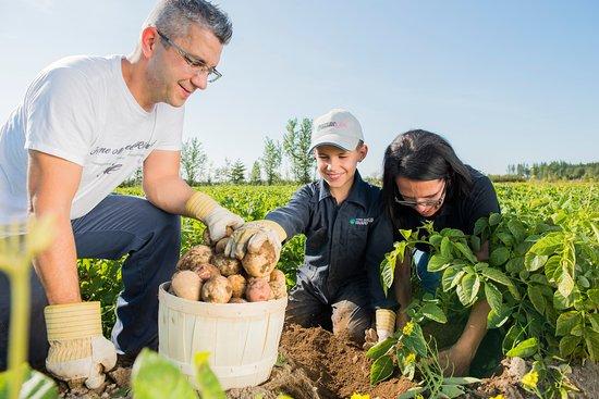 Saint-Ambroise, Canadá: Auto-cueillette de pomme de terre en saison des récoltes. Le plaisir de découvrir comment la pomme de terre grandit.