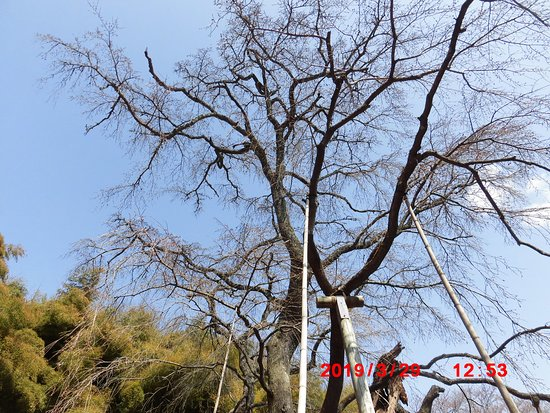 エドヒガン紅枝垂れ「雪村桜」