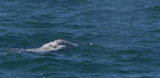 Whale Watching Cruise Guided by Experts from Birch Aquarium: Just another picture of the gray whales blow holes.