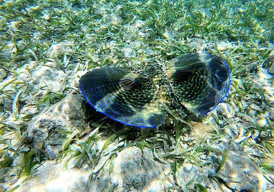 Roatan, Honduras: Flying gurnard. Snorkeling in Roátan, Islas de la Bahia, Honduras. | March 23, 2019.